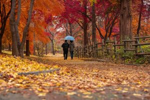 couple with blue umbrella walking between trees with fall leaves