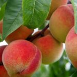 peach 2632182 640